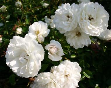 Троянди Мейланд