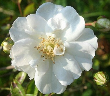Троянда Swany в киеве