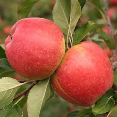 Яблуня Чемпіон Рено купить онлайн