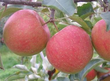 Яблуня Чемпіон Рено почтой
