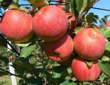 Яблуня Чемпіон Рено смотреть