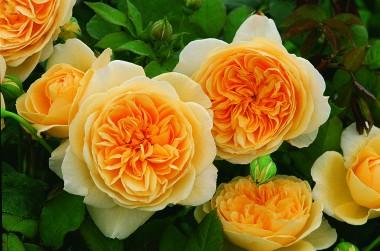 Троянда Teasing Georgia почтой