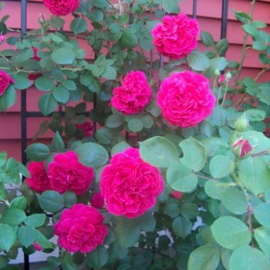 Троянда Tess of The d'Urbervilles (плетиста) в киеве