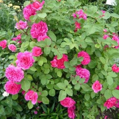 Троянда Tess of The d'Urbervilles (плетиста) смотреть
