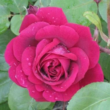 Троянда Tess of The d'Urbervilles (плетиста) фото