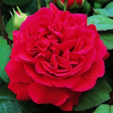 Троянда Tess of The d'Urbervilles фото
