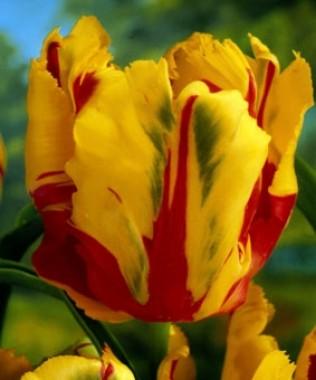 Тюльпан Texas Flame смотреть