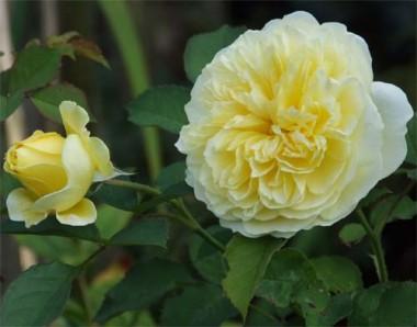 Троянди Девіда Остіна купить