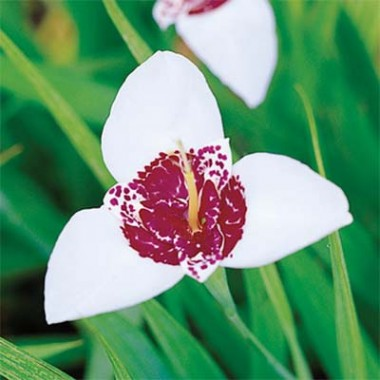 Тігрідія Alba Grandiflora фото цена