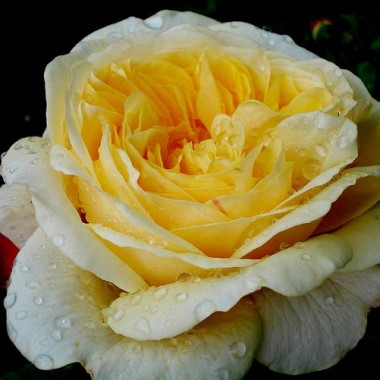 Троянда Teasing Georgia интернет-магазин