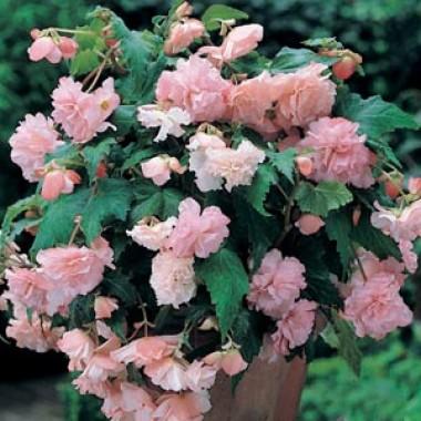 Бегонія Cascade Pink купить онлайн
