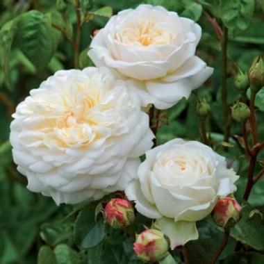 Троянда Tranquillity фото