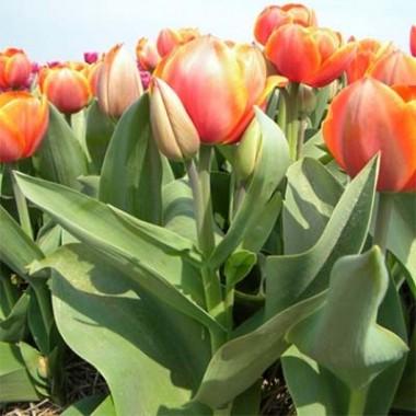 Тюльпани Дарвіна купить