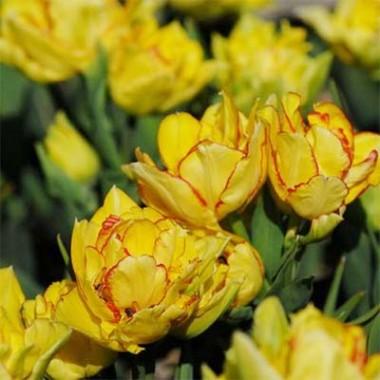 Тюльпан Aquilla фото цена