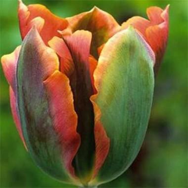 Зеленоквіткові тюльпани купить