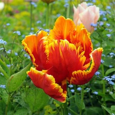 Тюльпан Bright Parrot  фото цена