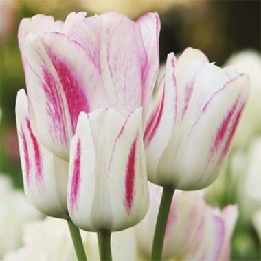 Тюльпан Сandy Сlub купить онлайн