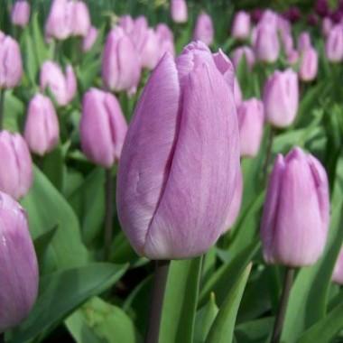 Тюльпан Candy Prince почтой