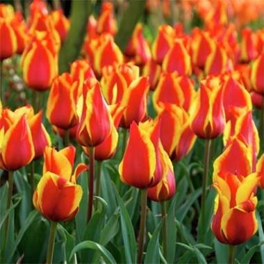 Тюльпан Cape Cod почтой