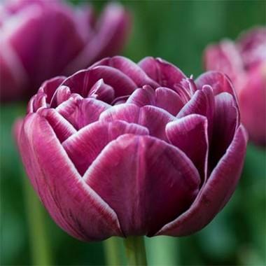 Тюльпан Dreamtouch описание