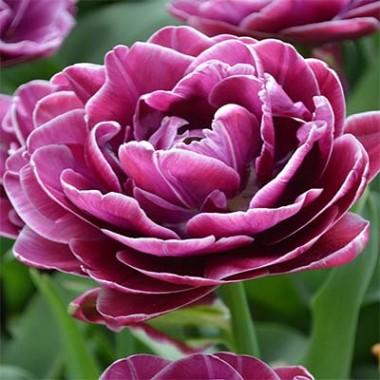 Тюльпан Dreamtouch почтой