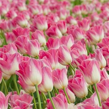 Тюльпан Dynasty фото