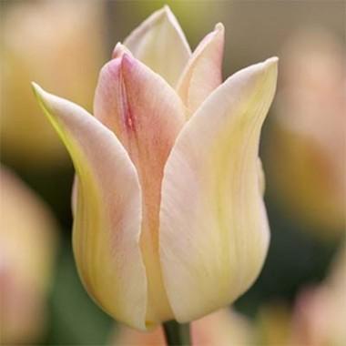 Тюльпан Elegant Lady смотреть