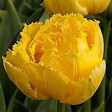 Тюльпан Exotic Sun смотреть