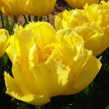 Тюльпан Exotic Sun почтой