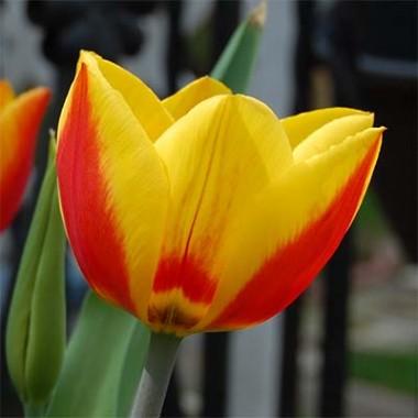 Тюльпан Flair купить онлайн