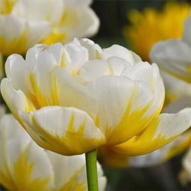 Тюльпан Flaming Evita фото цена