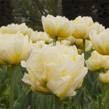 Махрові тюльпани