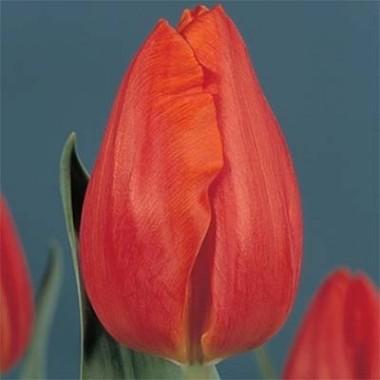 Тюльпан Frohnleiten описание
