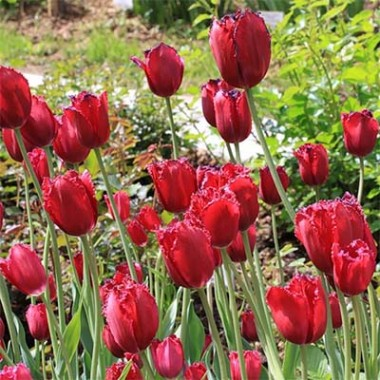 Тюльпан Gipsy Love почтой