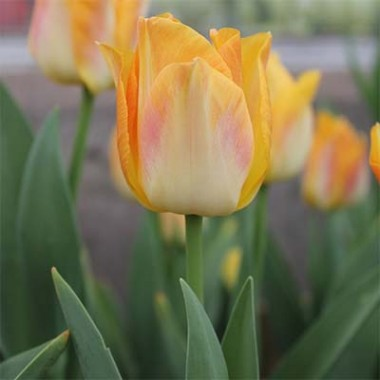 Тюльпан Golden Dynasty фото