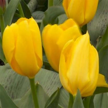 Тюльпан Golden Emperor купить онлайн