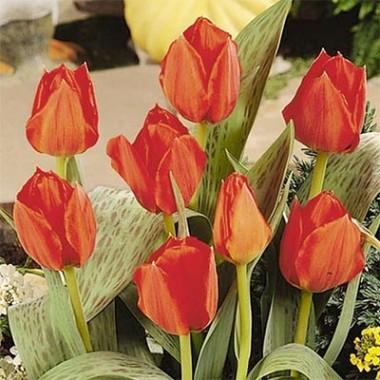 Тюльпан Grand Prestige фото цена