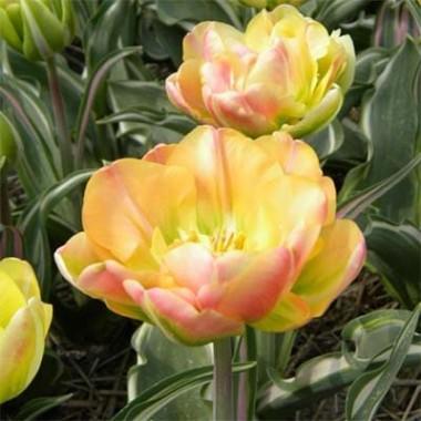 Тюльпан Happy Upstar фото цена