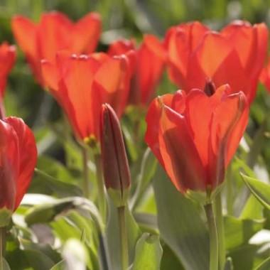 Тюльпан Madame Lefeber (Red Emperor) фото цена