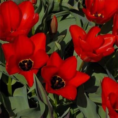 Тюльпан Madame Lefeber (Red Emperor) купить онлайн
