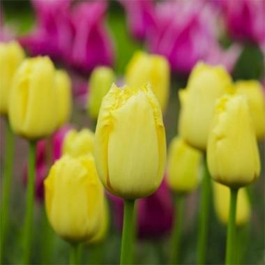 Тюльпан Maja фото цена