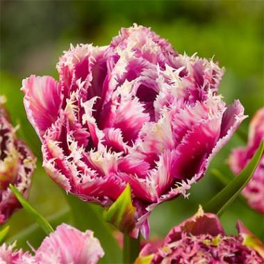Тюльпан Mascotte фото цена