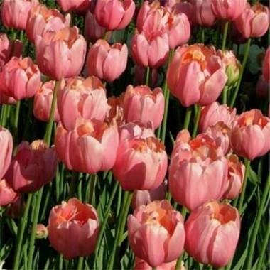Тюльпан Menton Exotic в киеве