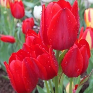 Тюльпан Merry Go Round фото цена