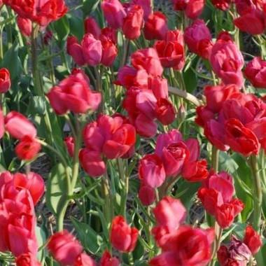 Тюльпан Merry Go Round купить онлайн