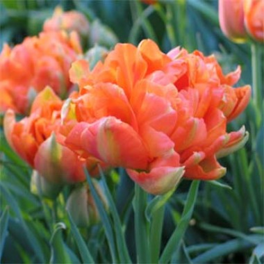 Тюльпан Monte Orange фото цена