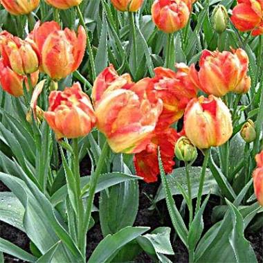 Тюльпан Monte Orange описание