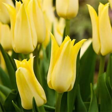 Лілеоподібні тюльпани купить