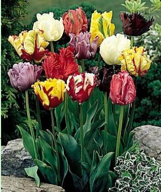 Папугові тюльпани купить