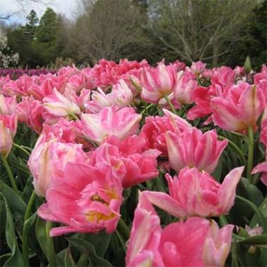 Тюльпан Peach Blossom купить онлайн